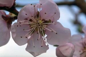 Fleur de pêcher ©Secrets de plantes