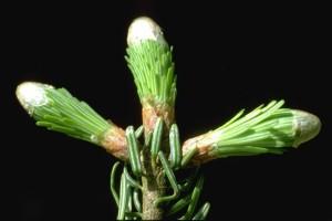 bourgeons de sapin - ©Secrets de plantes