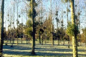 boules de gui dans les arbres © Secrets de plantes