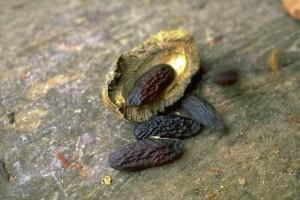 graines de fève © secrets de plantes