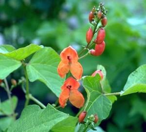 fève © Secrets de plantes