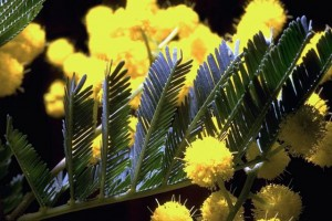mimosa © Secrets de plantes