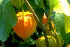 Alkékenge - © Secrets de plantes