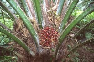 palmier © Secrets de plantes