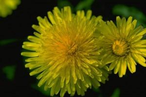 pissenlits © Secrets de plante