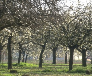 arbres en fleur © Secrets de plante