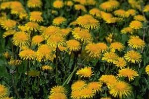 Pissenlits © Secrets de plantes
