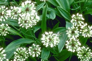Fleurs d'ail © Secrets de plantes