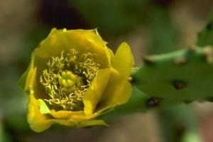 fleur de figue de barbarie - Secrets de plantes