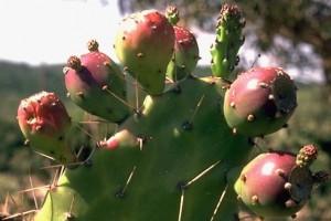 figues de barbarie - Secrets de plantes