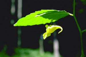 Balsamine © Secrets de plantes