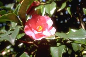 Camélia (Secrets de plantes)