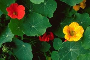 Capucines © Secrets de plantes