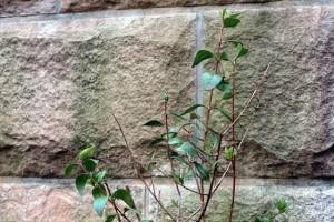 Henné © Secrets de plantes