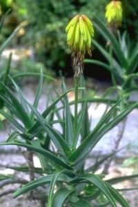 Aloès amer ou aloès vera © Secrets de plantes