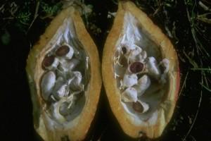 graines de cacao © Secrets de plantes