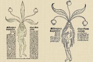 Mandragore © Secrets de plantes