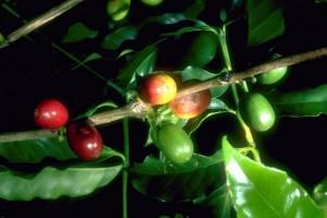 caféier  © Secrets de plantes