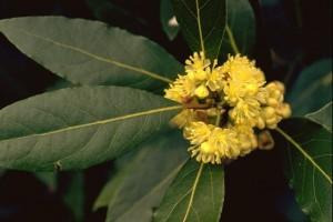 Fleur de laurier sauce © Secrets de plantes