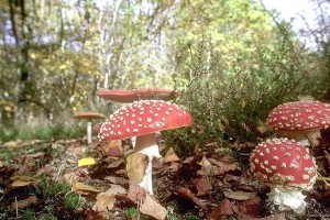 Amanites tue-mouche © Encyclopédie pratique des champignons (CD-Rom)
