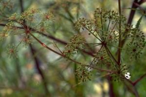 ciguë © Secrets de plantes