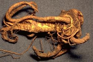 racine d'angélique © Secrets de plantes