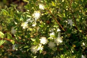 myrte © Secrets de plantes