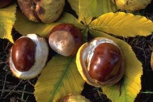 marrons © Secrets de plantes