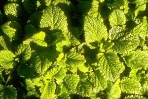 feuilles de mélisse © secrets de plantes