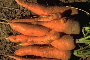 carottes © Secrets de plantes