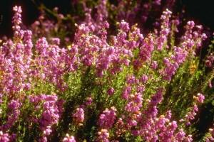 Bruyère © Secrets de plantes