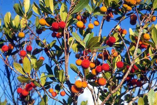 L arbousier se conna tre - Fruit de l arbousier ...