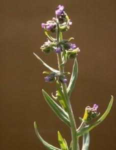 buglosse © Secrets de plantes