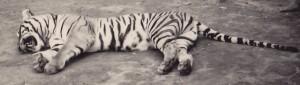 tigre d'Asie apprivoisé au repos