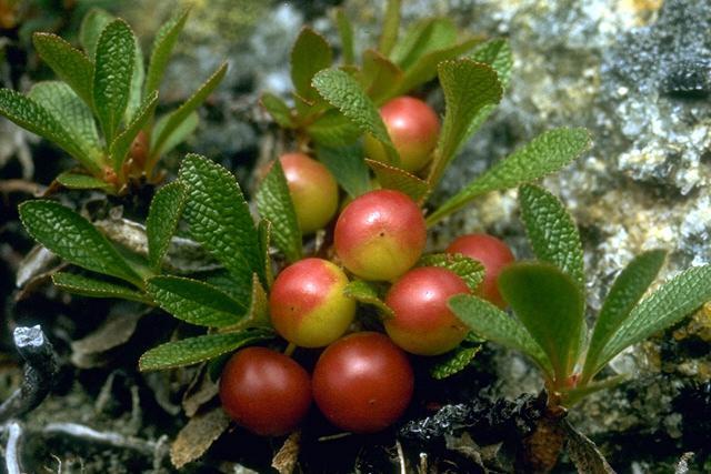 Busserole © Secrets de plantes