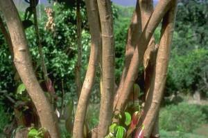 Cannelier © Secrets de plantes