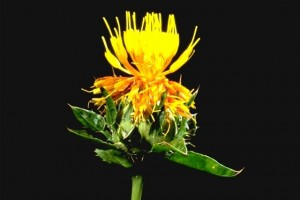 carthame © Secret de plantes