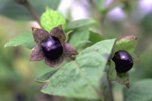 Belladone © Secrets de plantes