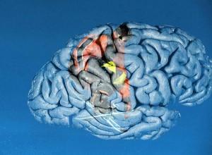 cerveau4