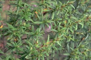 ciste ladanifère © Secrets de plantes