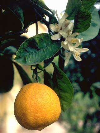 Citronnier © Secrets de plantes