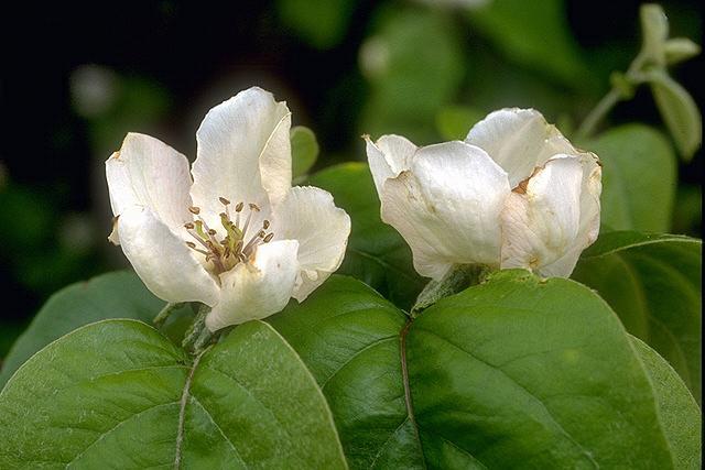 fleurs de cognassier © Secrets de plantes