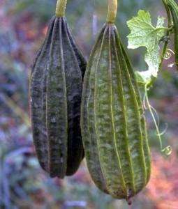 Concombre © Secrets de plantes