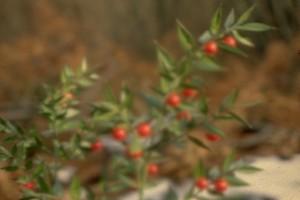 Ruscus © Secrets de plantes