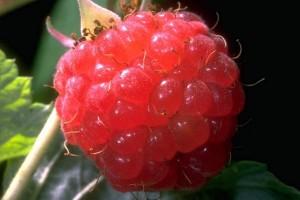 Framboisier © Secrets de plantes