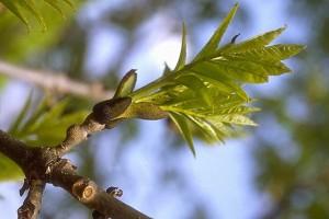 branche de frêne © Secrets de plantes