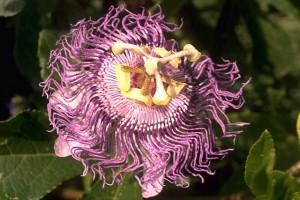 Passiflore © Secrets de plantes
