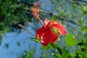 Hibiscus © Secrets de plantes