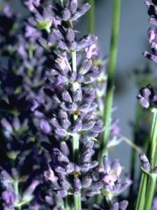 Lavandin © Secrets de plantes