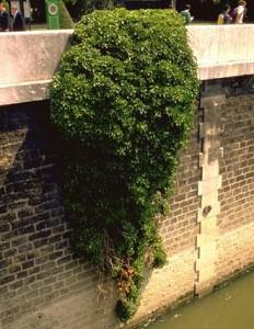 Lierre grimpant © Secrets de plantes